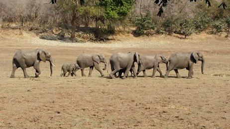 elephantwalking