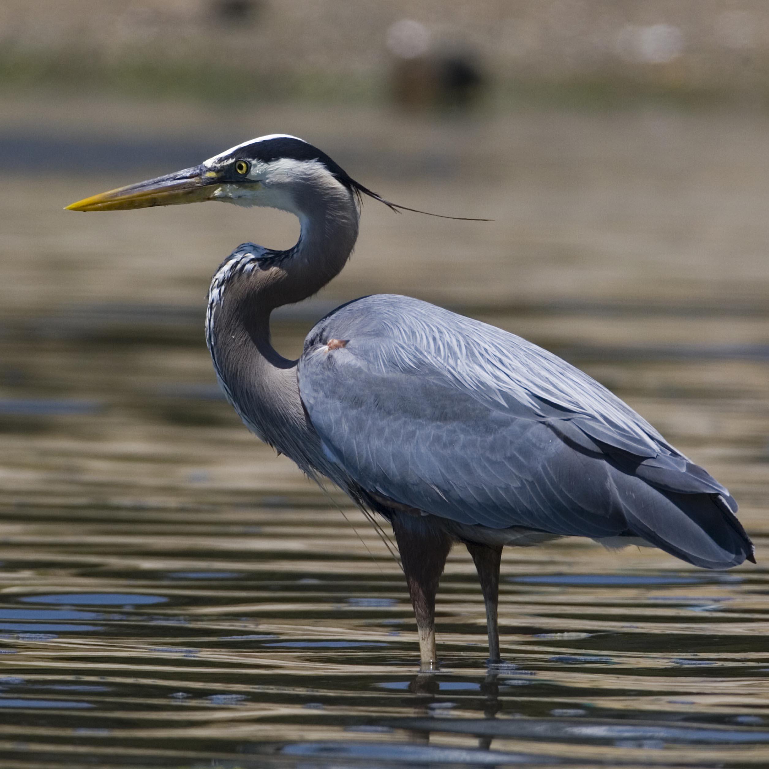 great-blue-heron-in-water